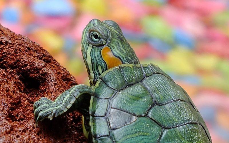 Jak se starat o vodní želvu